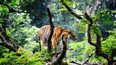 Bengal Tiger In Jungle