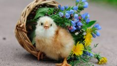 Bird Chick Chick Basket Flowers