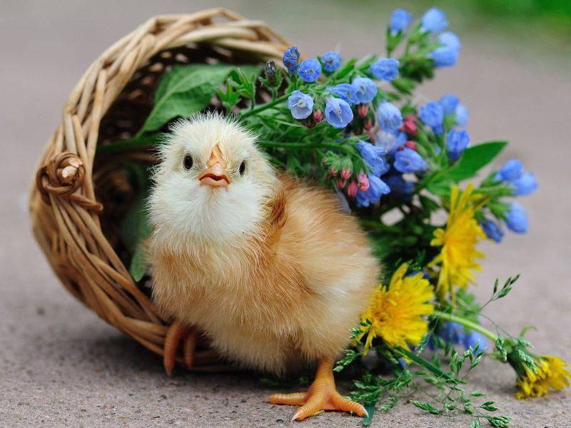 Bird Chick Chick Basket Flowers