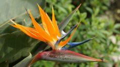 Strelitzia Reginae Flower