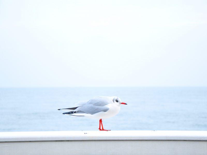 Birds Blue Gray Sea Seagulls White