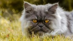 Persian cat with yellow eyes